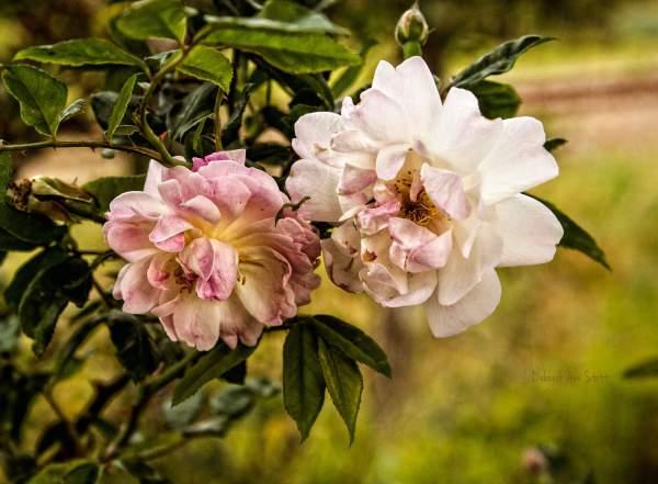 rose, flower,