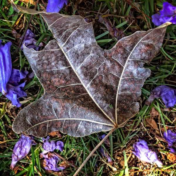 leaf, jacaranda, texture