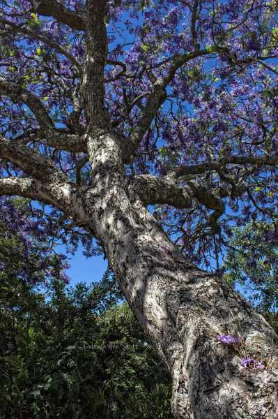 jacaranda, tree, purple