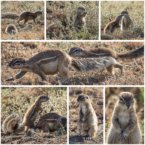 Diary of a Cape ground squirrel