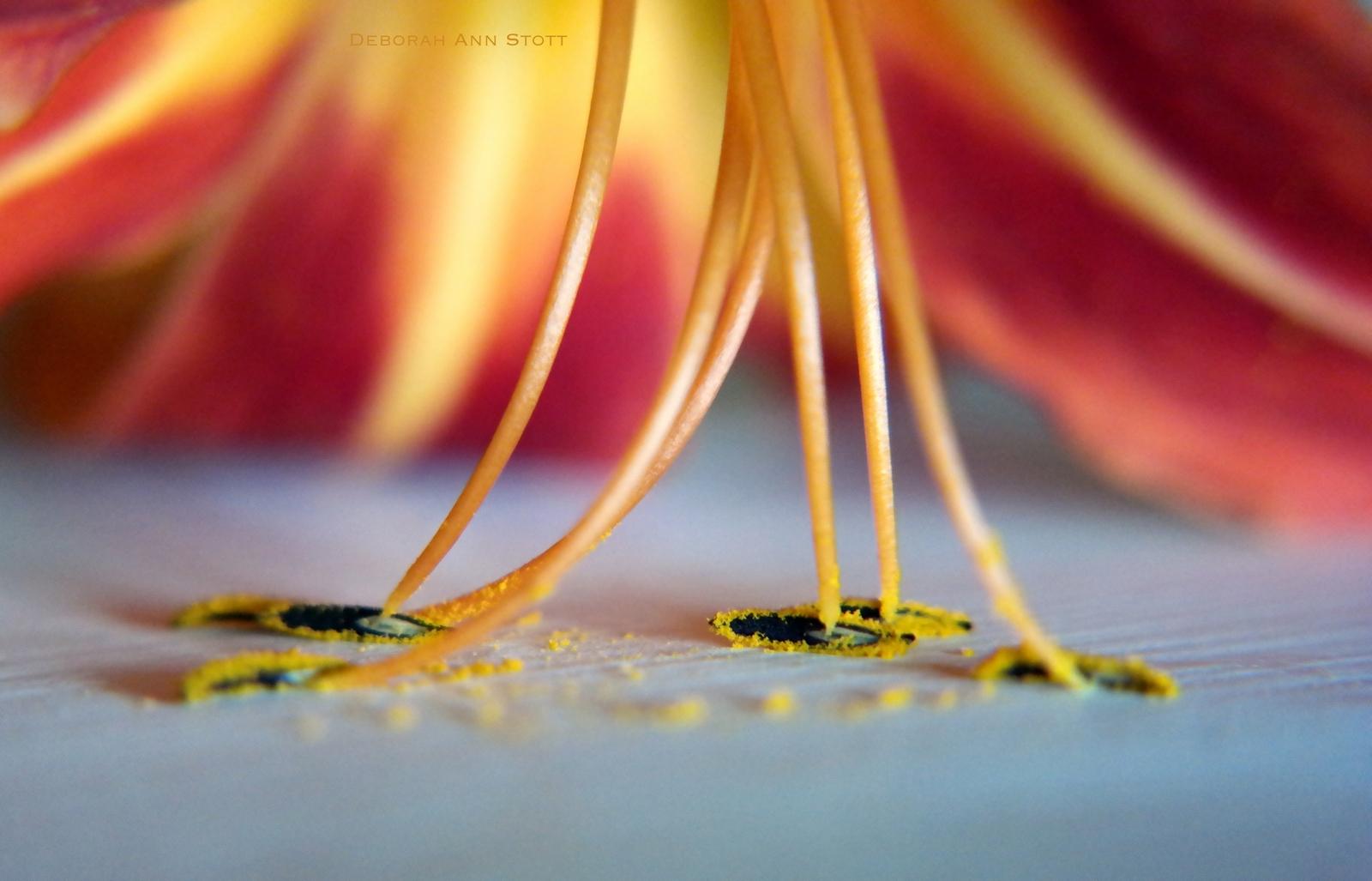 Stott-lily