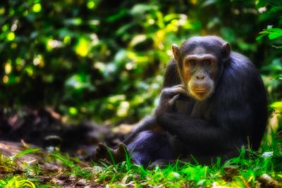 Storie dal pianeta terra - Scimpanzé - Uganda