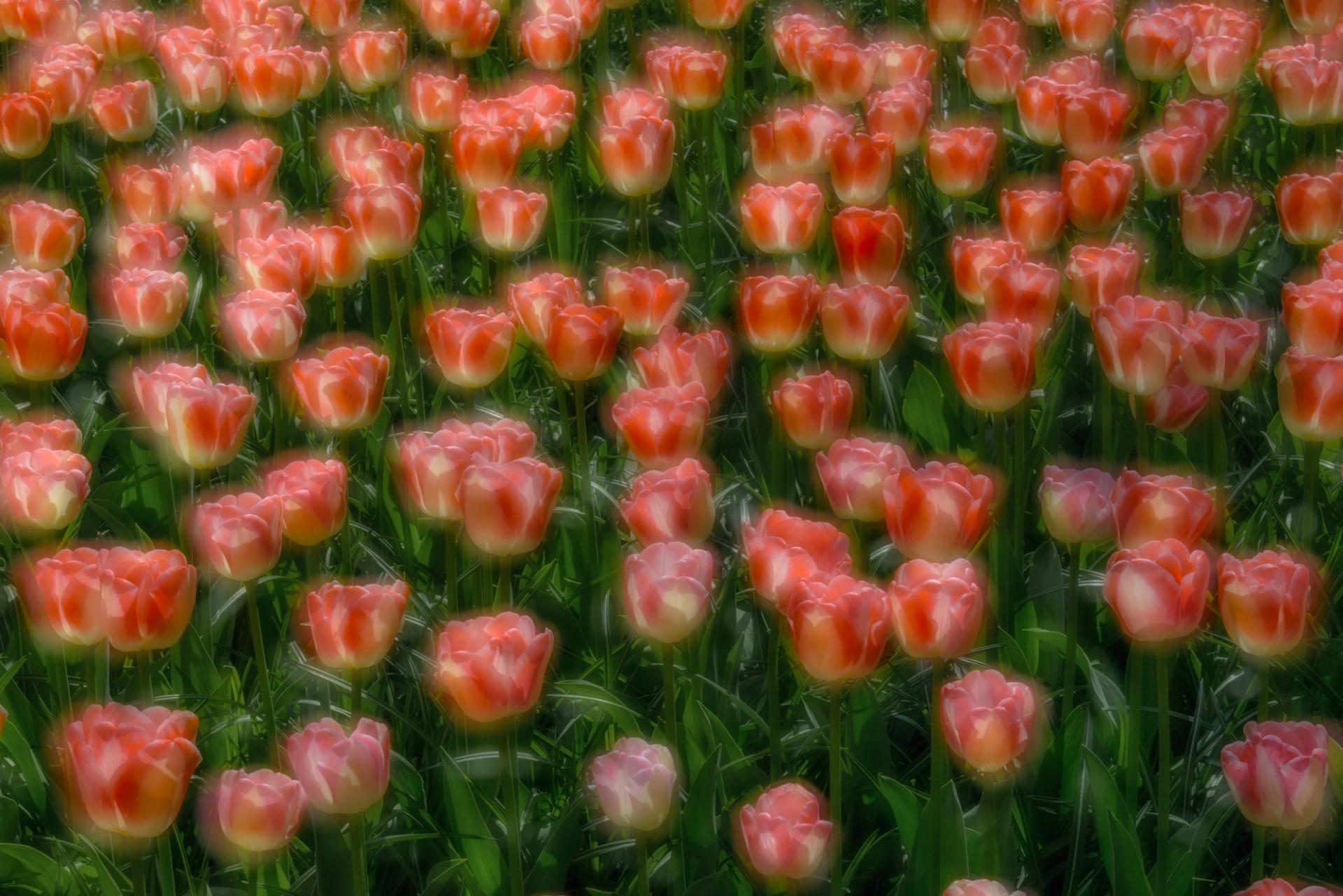 Storie dal pianeta terra - Tulip Fields