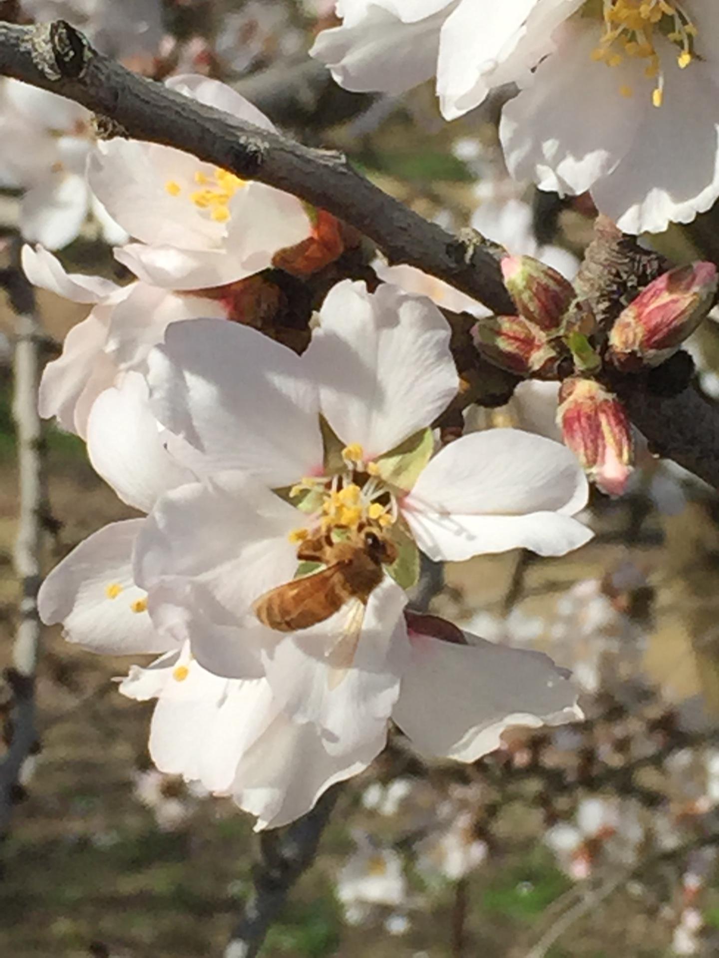 Spring almond bloom