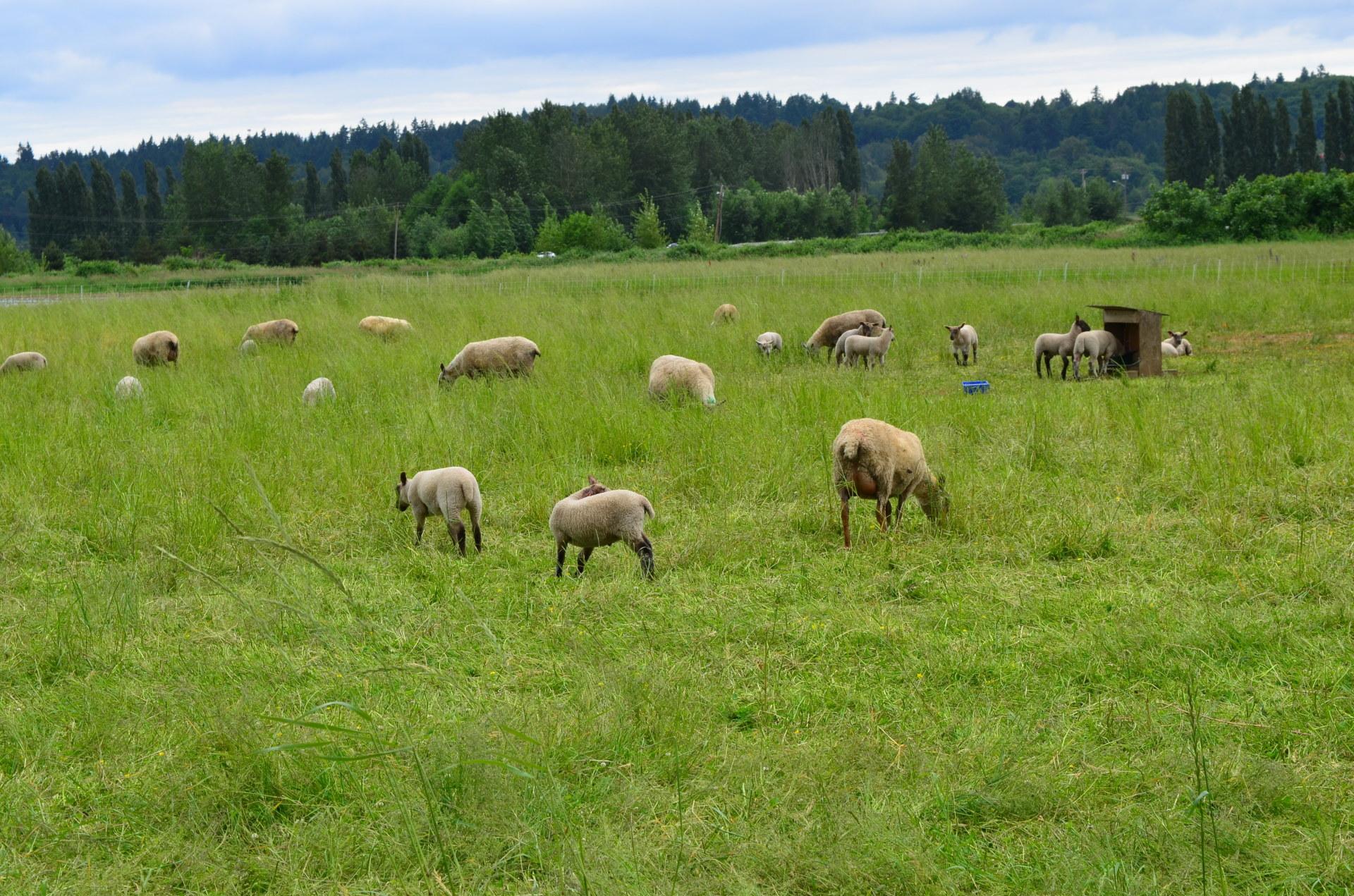 Aspen Hollow Snoqualmie Valley Lamb