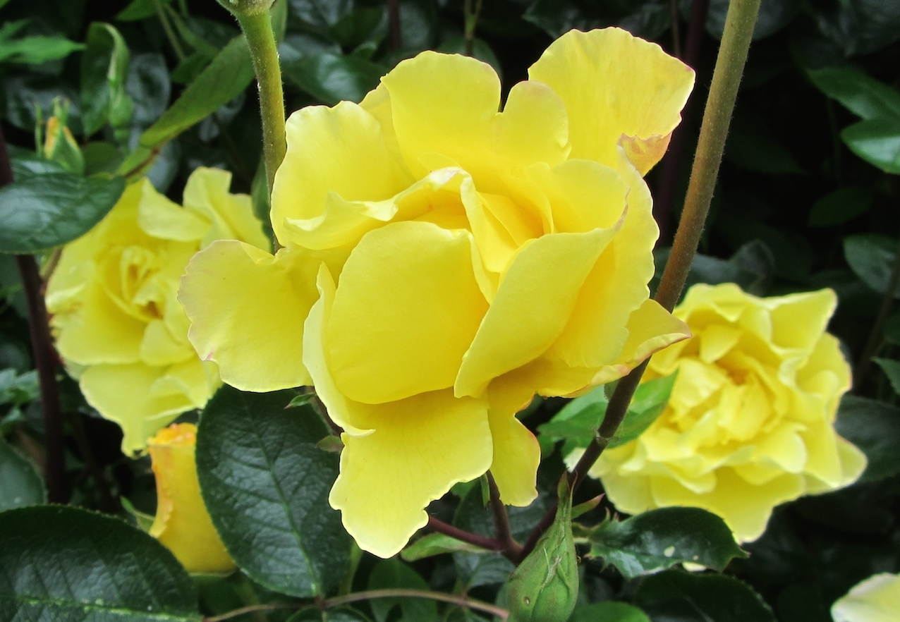 yellow roses at Le Choisel, Normandy, France