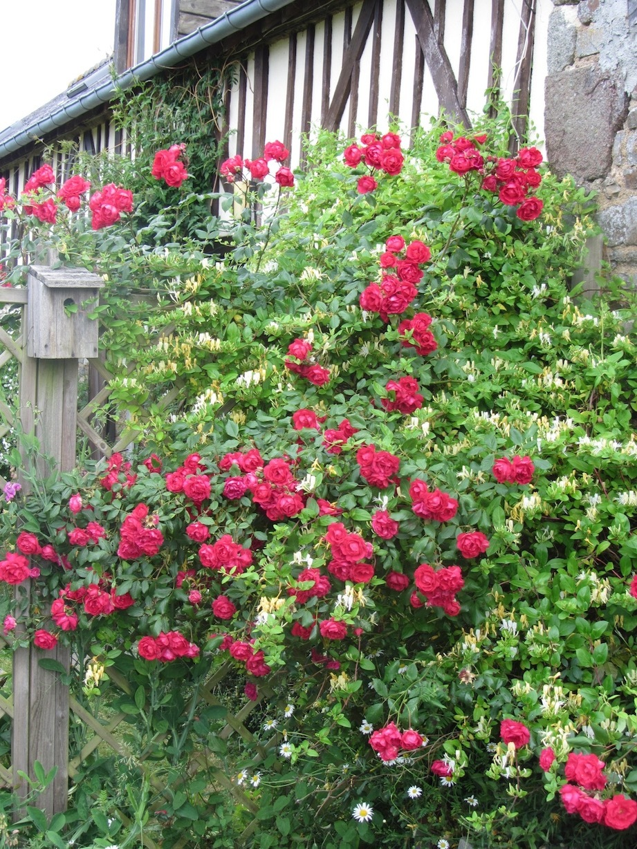 roses and honeysuckle at Le Choisel, Normandy, France