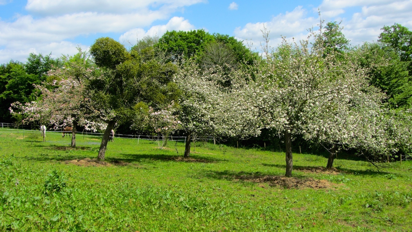 apple trees in bloom at Le Choisel, Normandy, France