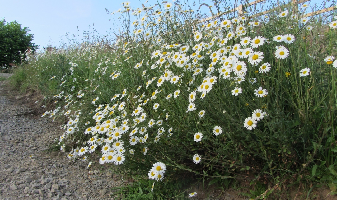 oxeye daisies at Le Choisel, Normandy, France