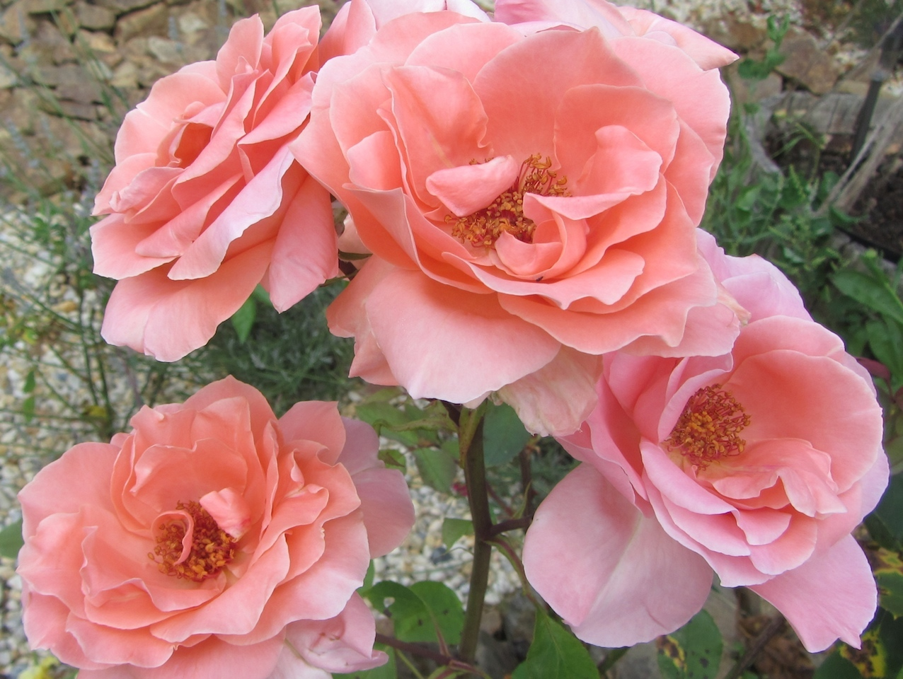 pink roses at Le Choisel, Normandy, France