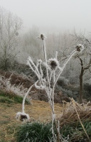 frosted flowers at Le Choisel, Normandy, France