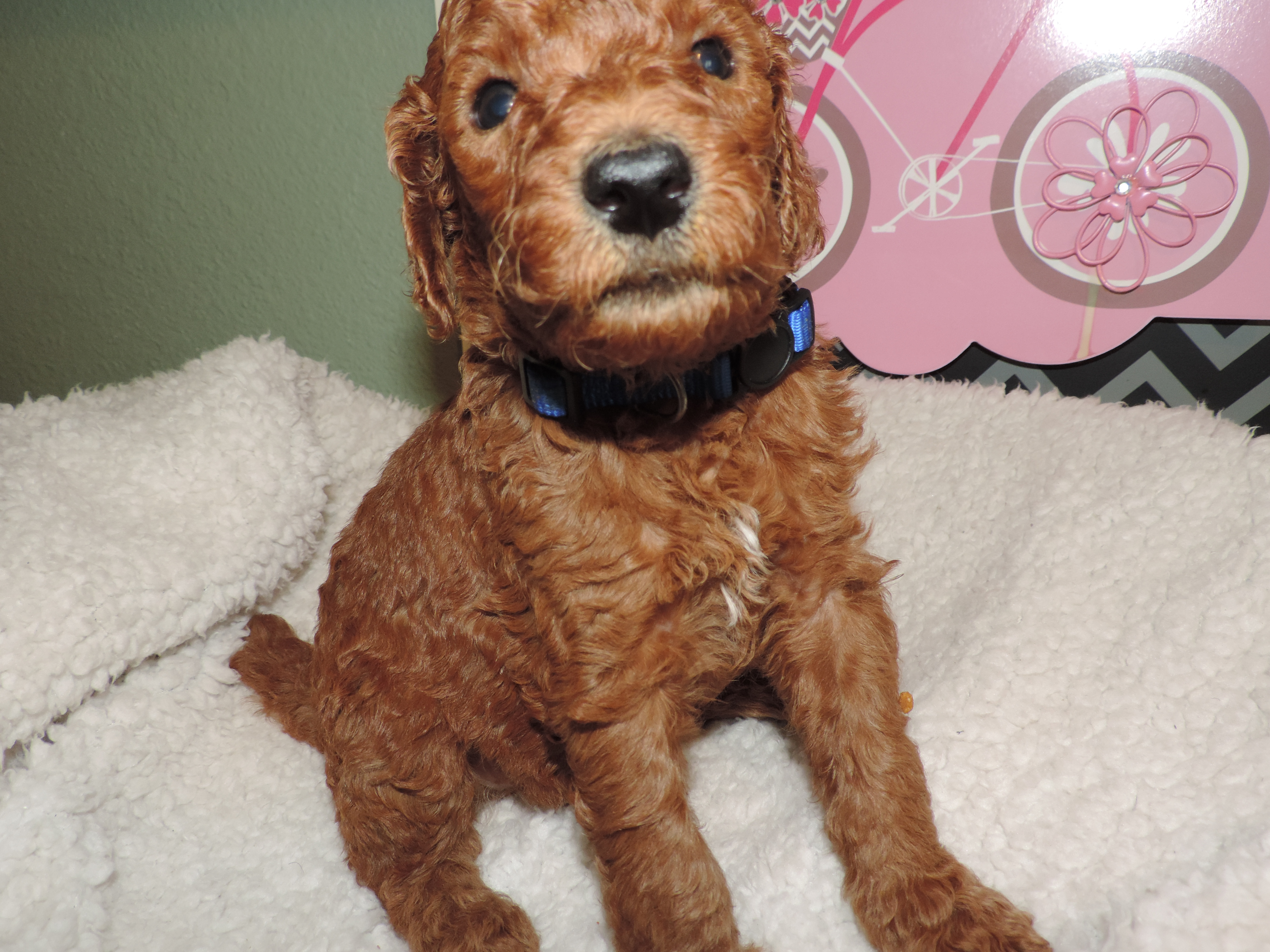 Standard Poodles puppies for sale