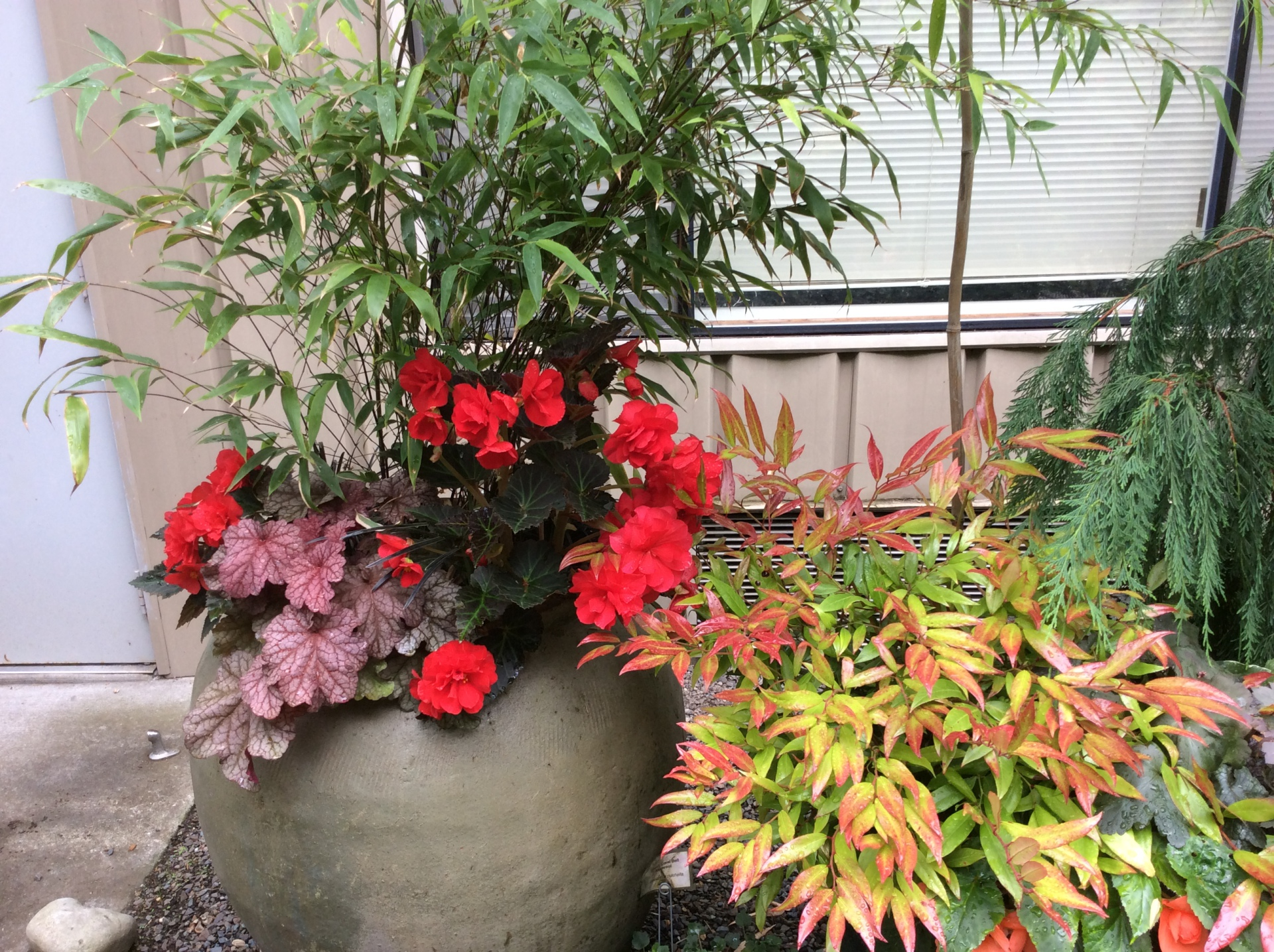 Black bamboo with bodacious begonias.