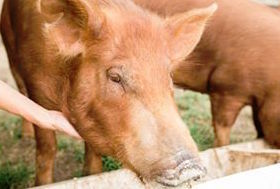 Tamworth piglets and pork