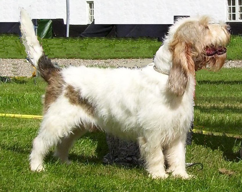 The Grand Basset Griffon Vendeen