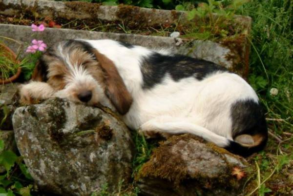 GBGV Puppy