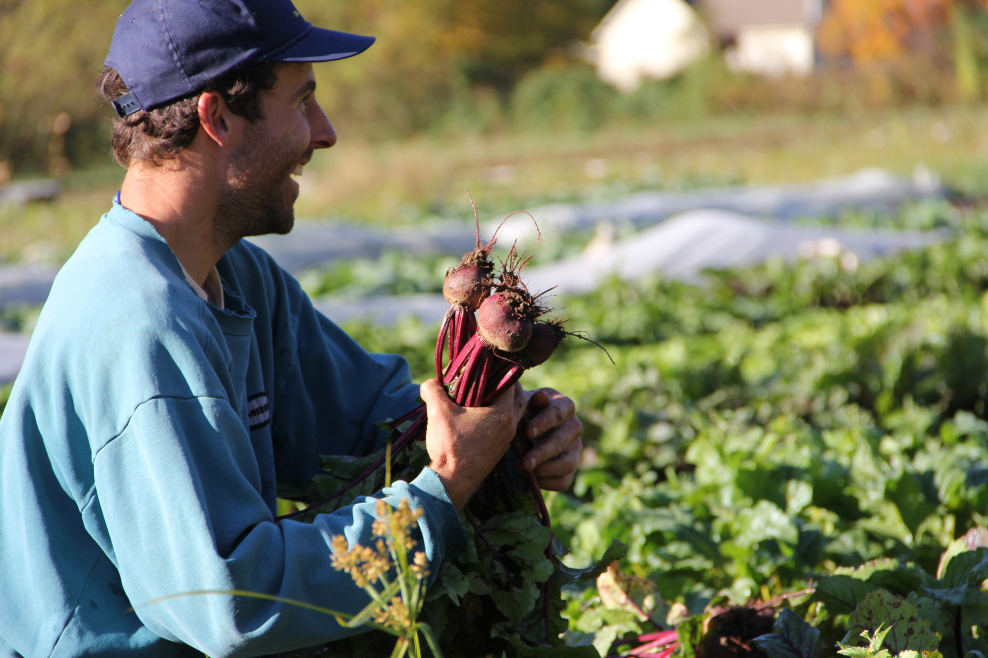 Lawton bunches beet in the field
