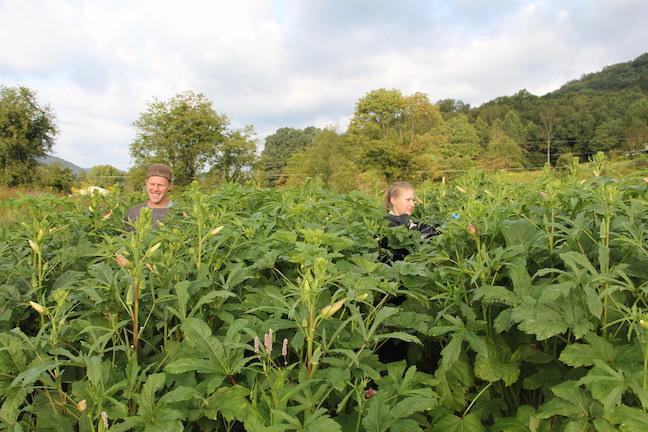 Apprentices, Nelson and Stephanie harvesting okra