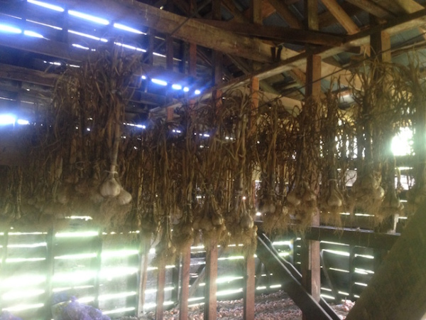 Garlic drying in the barn