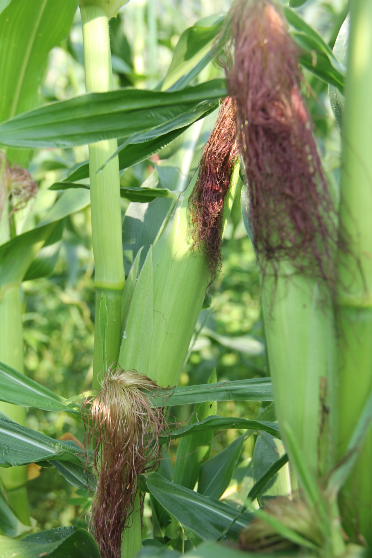 Organically Grow Corn