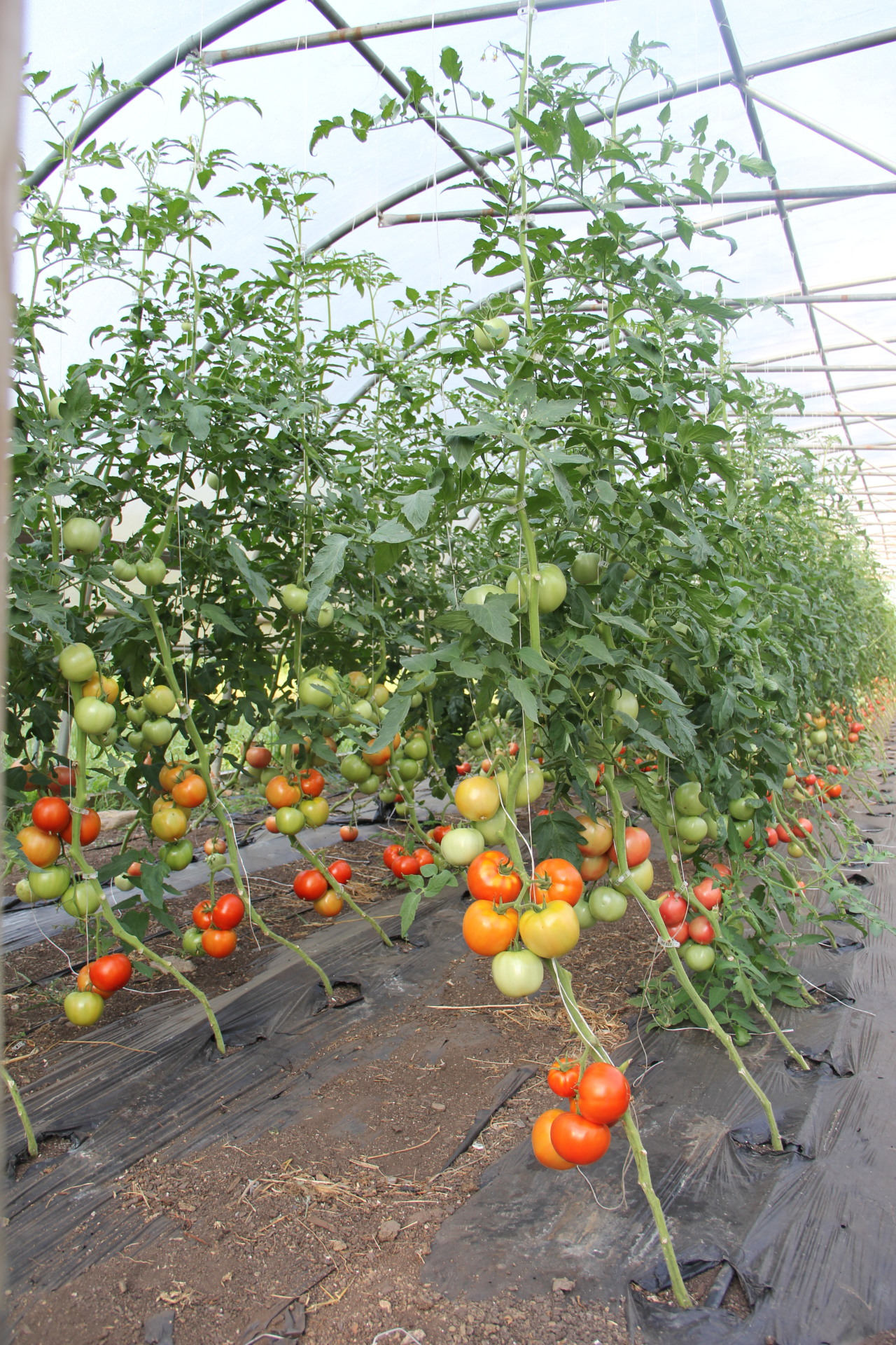 We grow tomatoes in our hoop houses to avoid disease pressure.