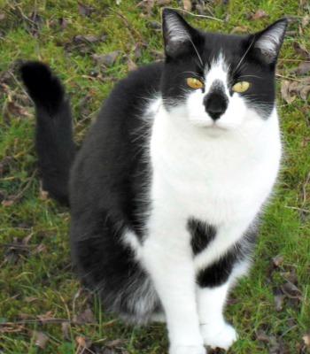Felix cat
