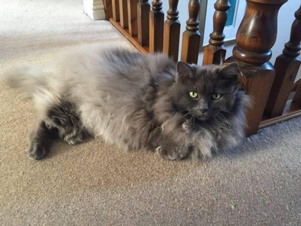 Portia cat