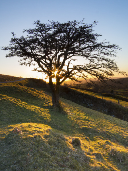 Sheepstor tree, Dartmoor, UK L106