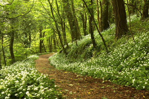 Wild garlic wood, Devon UK L105
