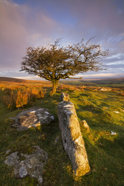 Combestone Tree, Dartmoor N101