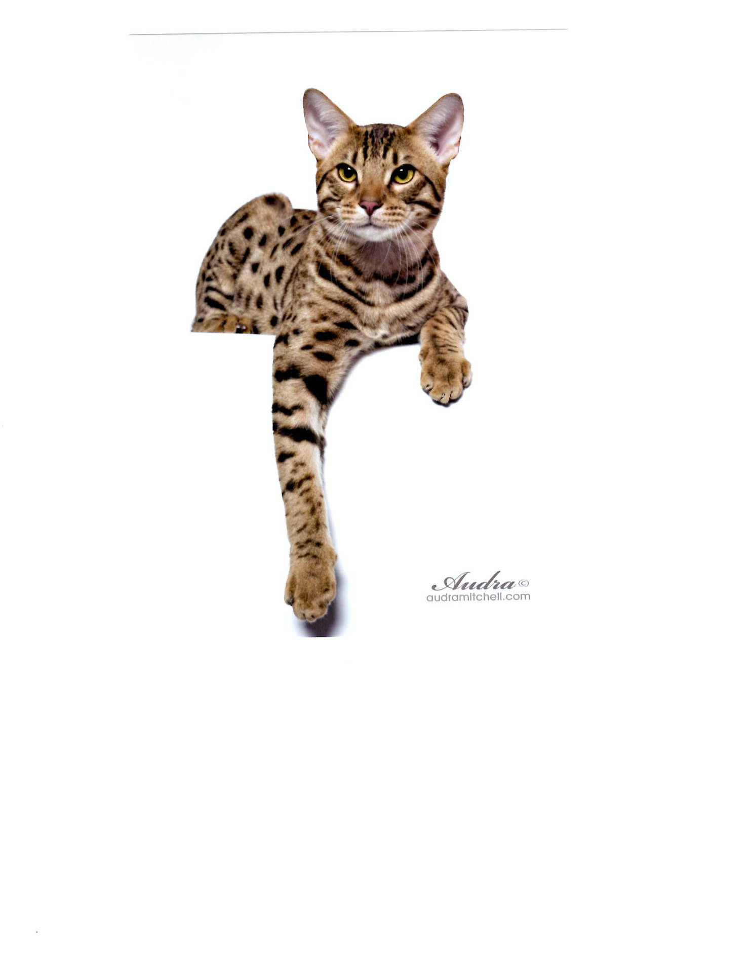 Ft. Myers Cat Show