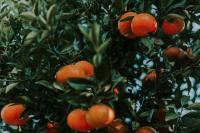 Honey Murcott Mandarin on Tree