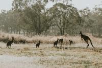 Kangaroos Australia Ironbark Citrus