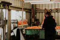 Ironbark Citrus Mandarins Sorting