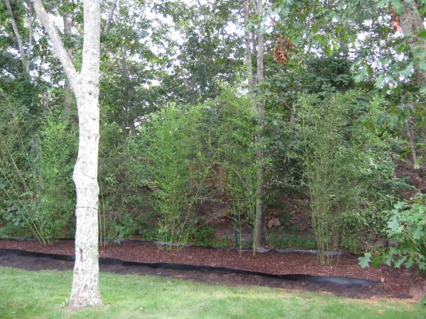 bamboo on Martha's Vineyard