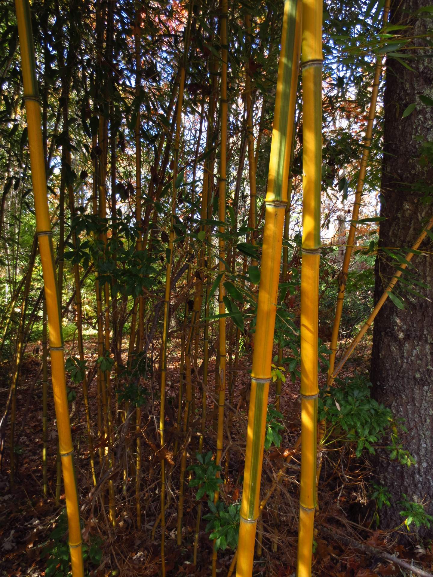 bamboo yellow