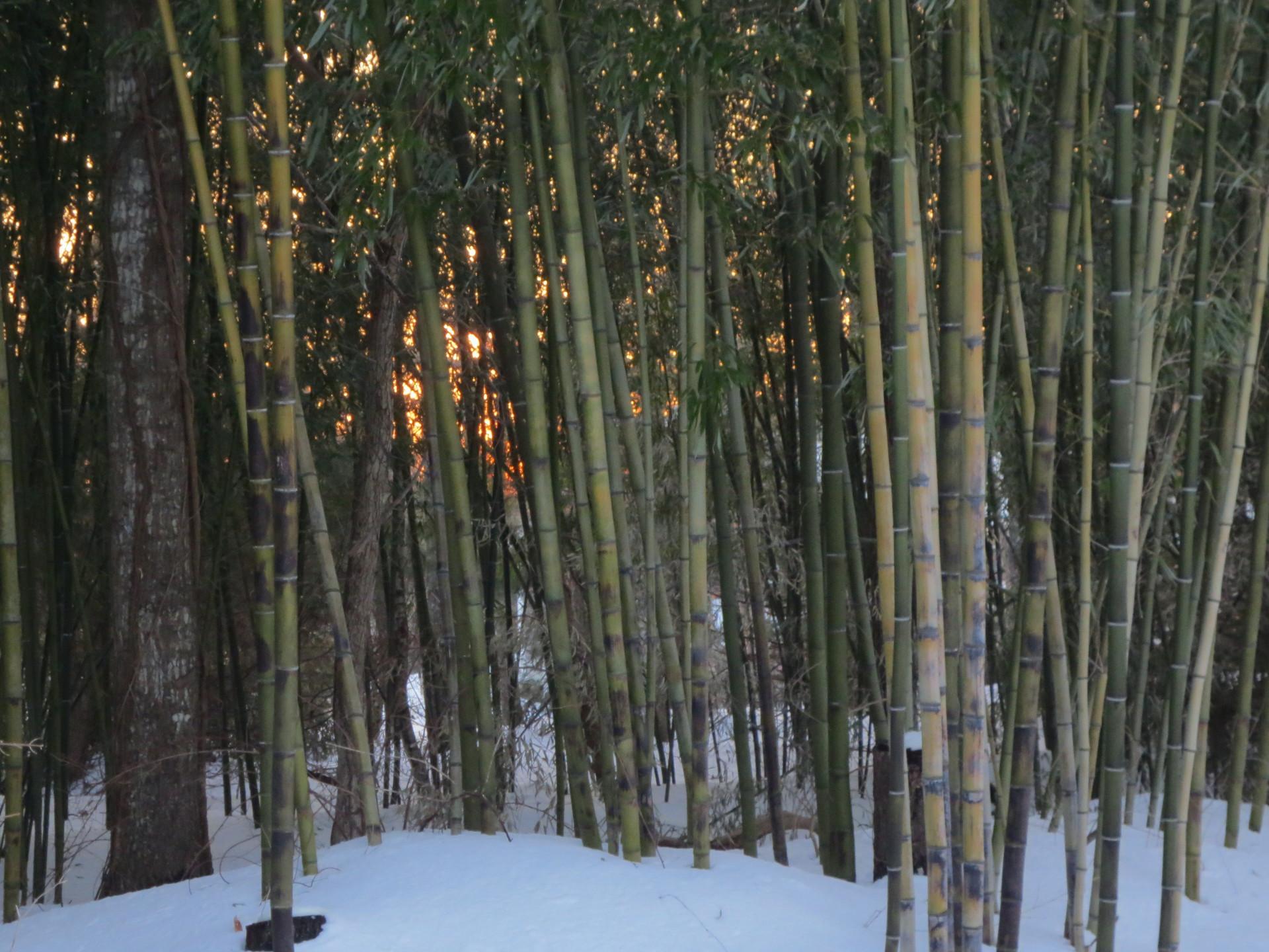 bamboo winter
