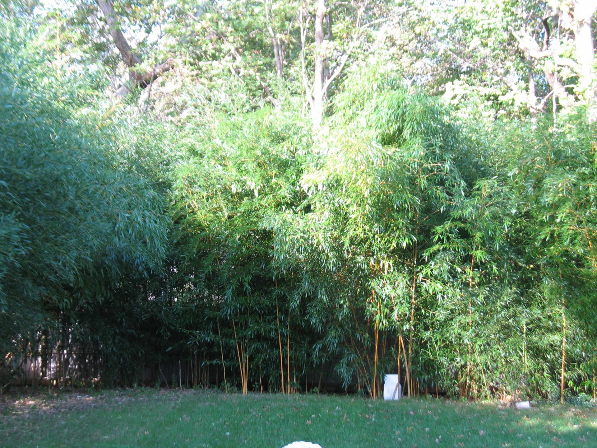 tall bamboo