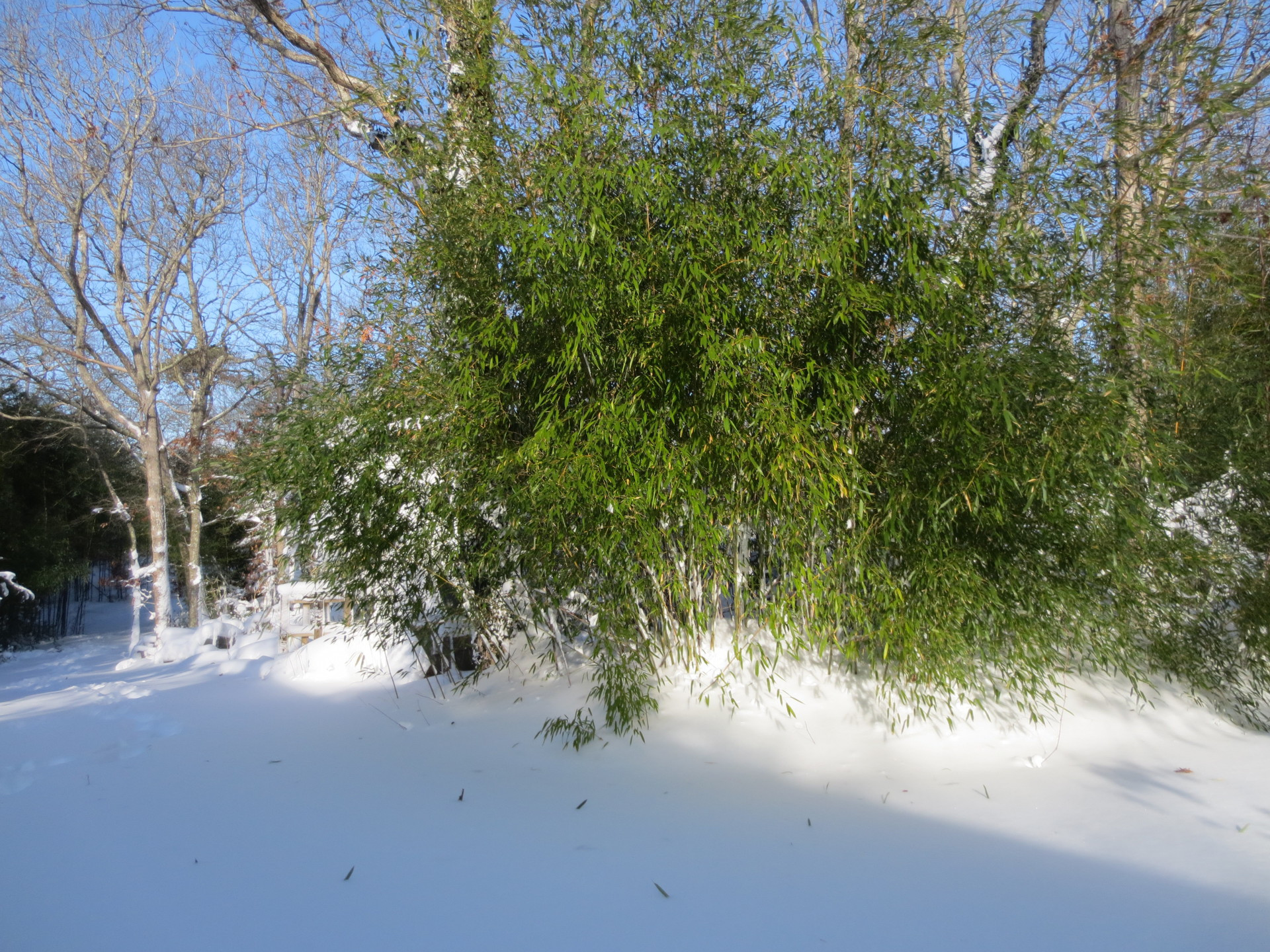 bamboo wintertime