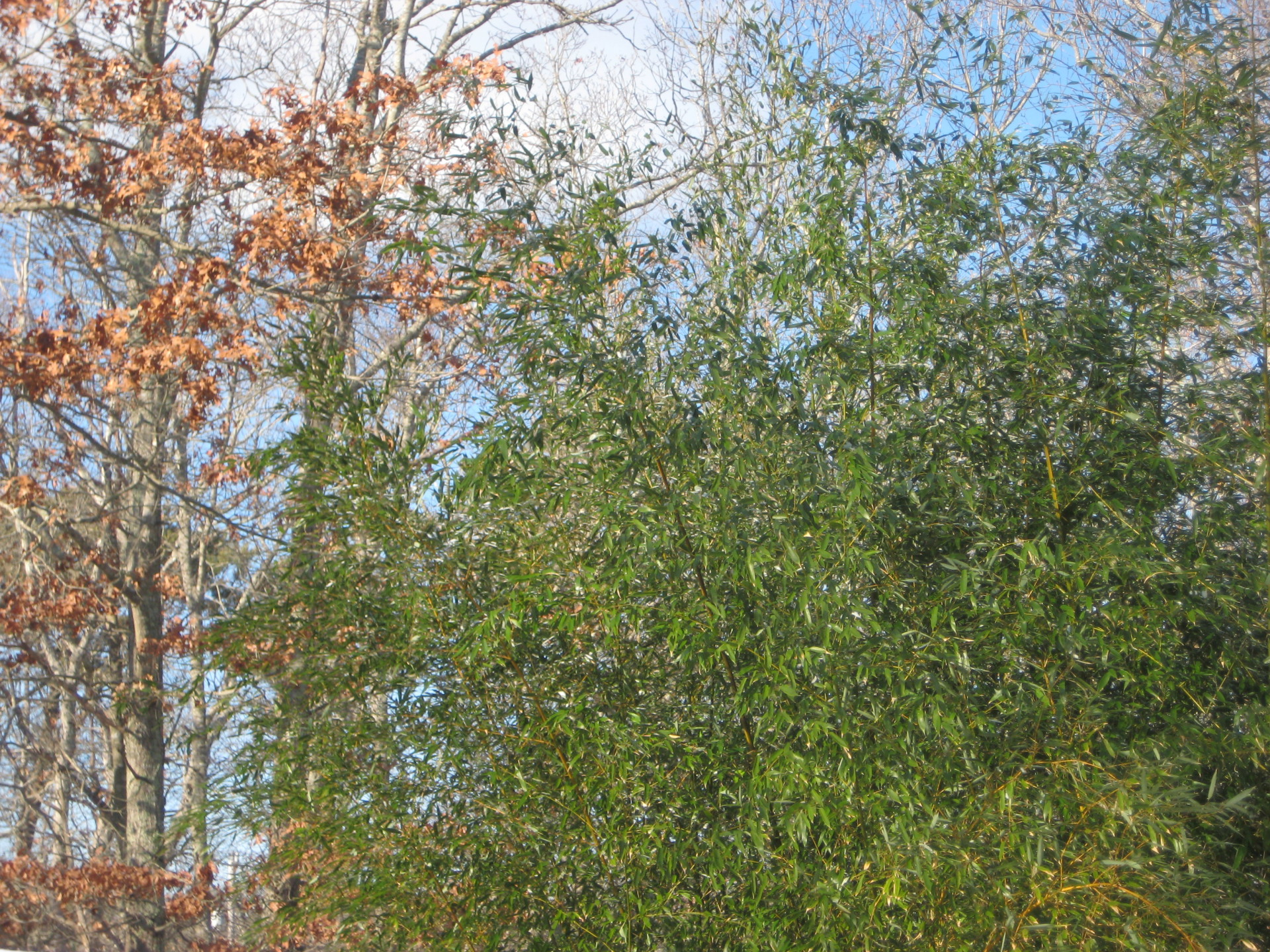 bamboo fall