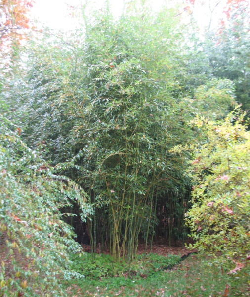 bamboo summertime