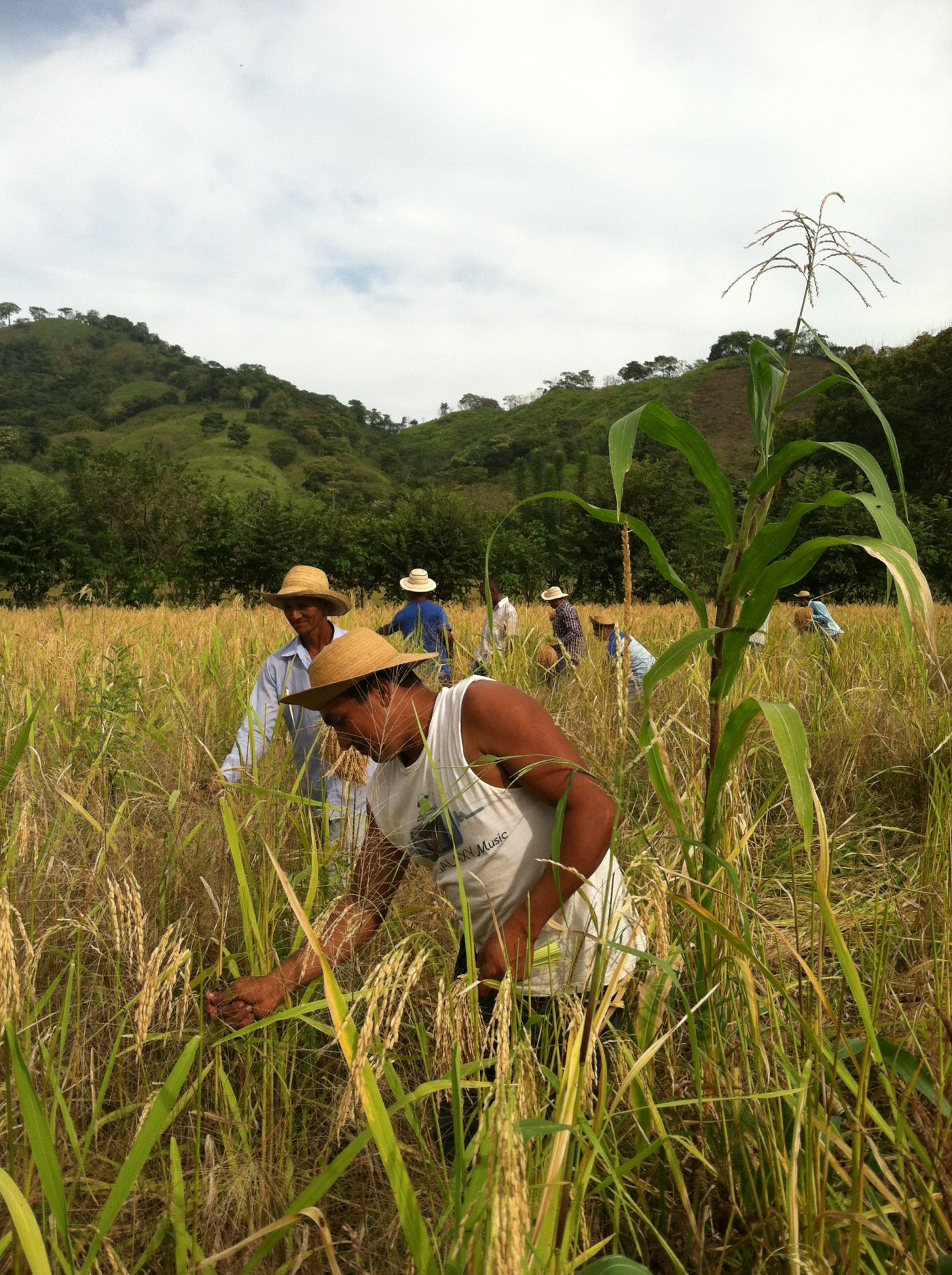 Cutting Rice Fields By Hand
