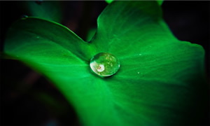 Leaf with Droplet