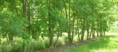 a row of ash trees latin name fraxinus excelsior