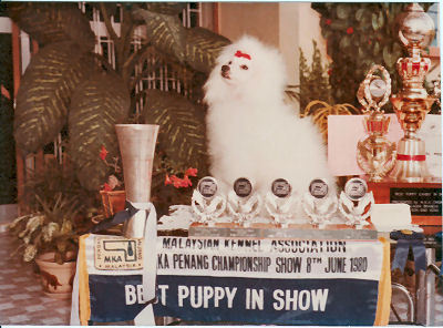 """""""Cindy"""" is Sue's first home-bred Miniature Poodle. Won Puppy-in-Show at first outing in 1980."""