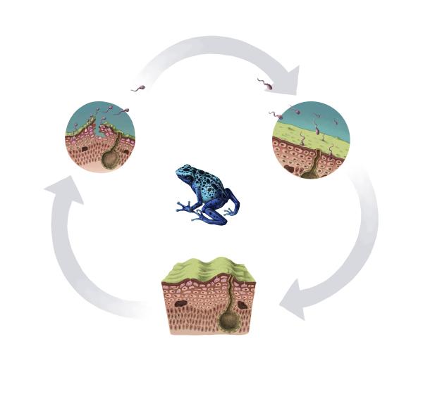 Chitrid Fungus Life Cycle