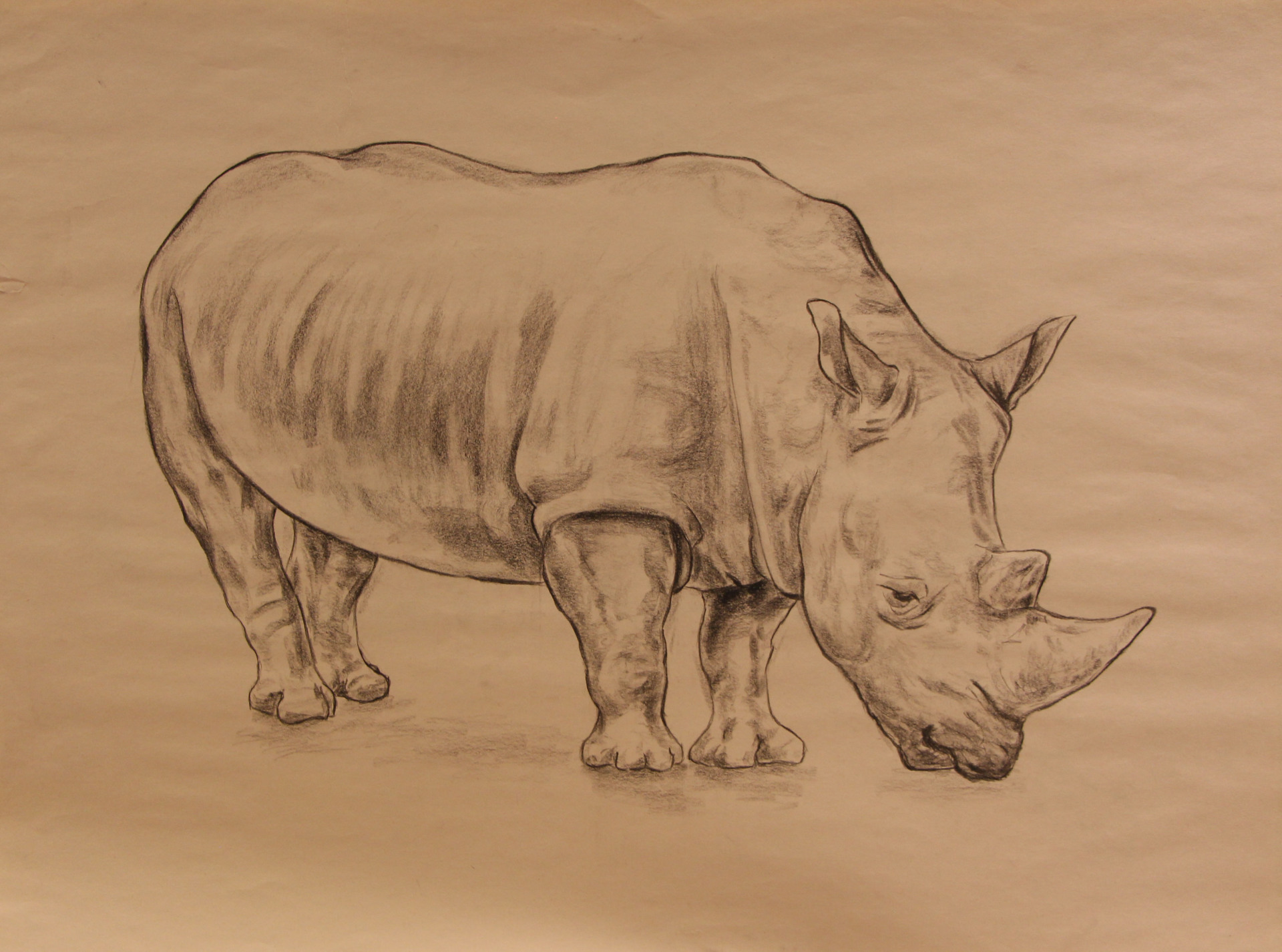 Anatomy Study - Rhino