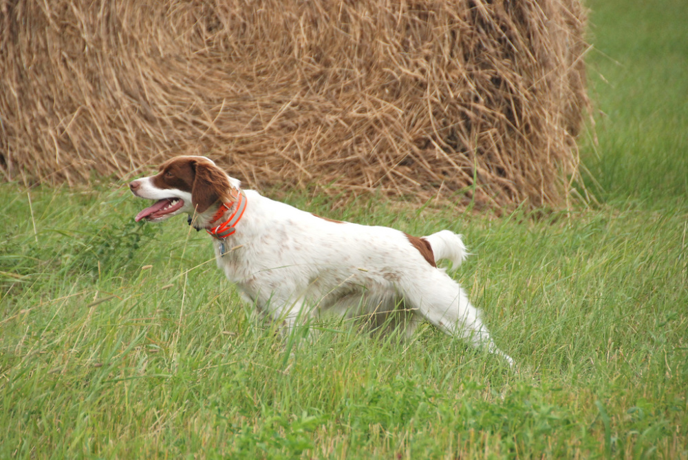 Smith Valley Gun Dogs | Brittany Spaniel Breeder