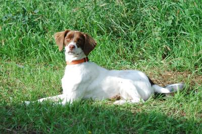 Brittany Spaniel Breeder-Smith Valley Gun Dogs