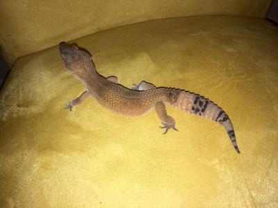 Tequila 2 years Leopard Gecko
